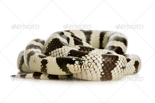 California Kingsnake - Lampropeltis getulus californiae - Stock Photo - Images