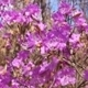 Rhododendron Dauricum Close Up - VideoHive Item for Sale