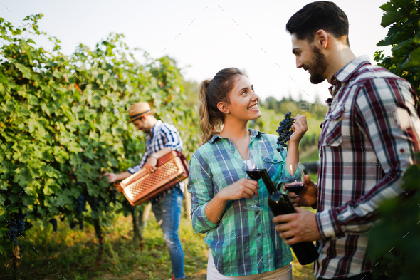 Wine grower showing nice grapes during harvest - Stock Photo - Images