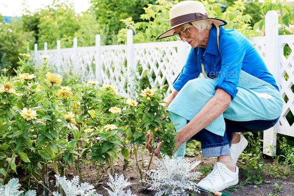 Senior Gardener Planting Flowers - Stock Photo - Images
