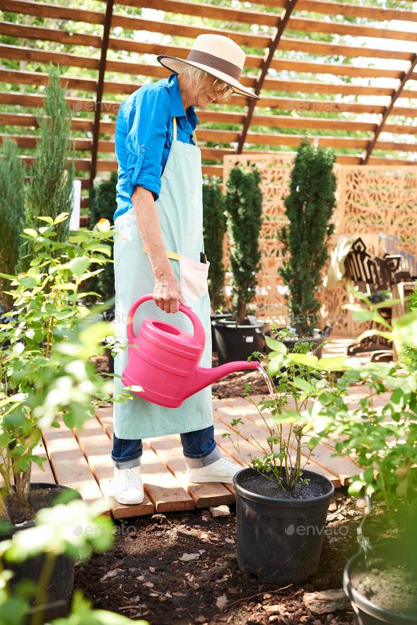 Senior Gardener Watering Plants - Stock Photo - Images
