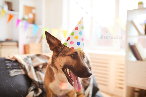 Dog Wearing Birthday Cap - Stock Photo - Images