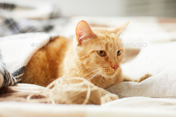 Ginger Cat Lying on Comfy Bed - Stock Photo - Images