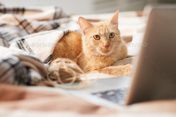 Ginger Cat Using Laptop - Stock Photo - Images