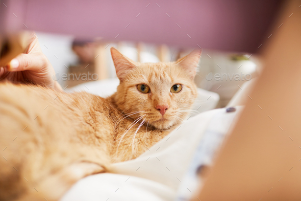 Shorthaired Ginger Cat Looking at Camera - Stock Photo - Images