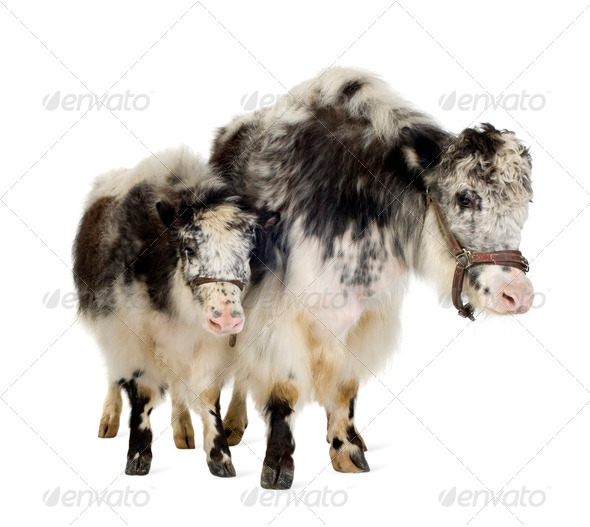 Yak and her calf - Stock Photo - Images