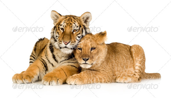 Lion Cub (5 months) and tiger cub (5 months) - Stock Photo - Images