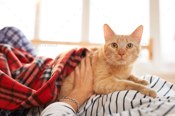 Ginger Cat Relaxing with Owner - Stock Photo - Images