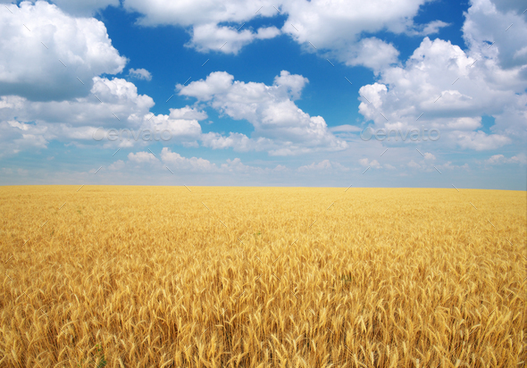 Meadow of wheat. - Stock Photo - Images