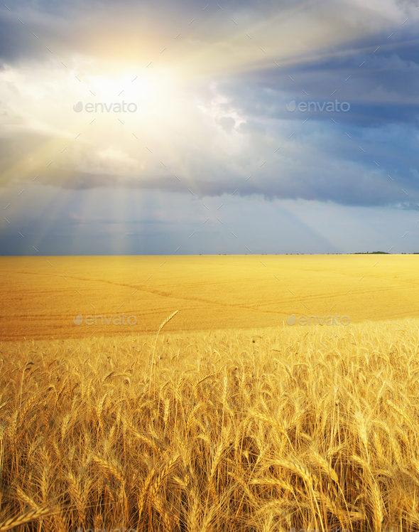 Meadow of wheat - Stock Photo - Images