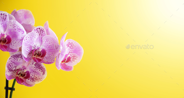 Violet orchid on yellow background. Banner with copy space. Spring, woman day concept. Light bokeh - Stock Photo - Images