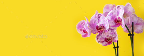 Branch of violet orchid on bright yellow background. Banner with copy space. Spring, woman day - Stock Photo - Images
