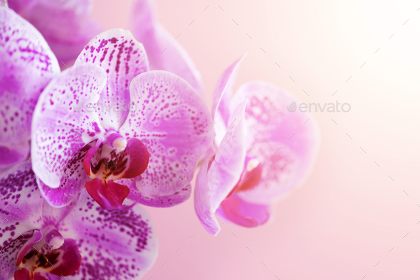 Violet orchid on pink background. Banner with copy space. Spring, woman day concept. Light bokeh - Stock Photo - Images