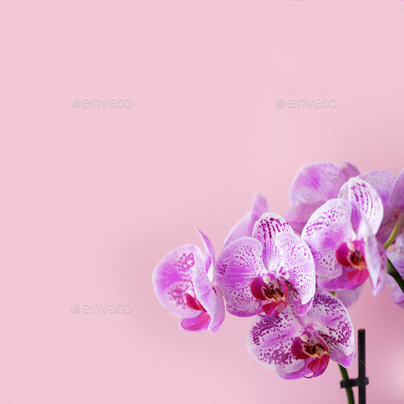 Violet orchid on pink background. Banner with copy space. Spring, woman day concept. Square crop - Stock Photo - Images