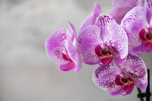 Violet orchid on grey concrete background. Banner with copy space. Spring, woman day concept - Stock Photo - Images