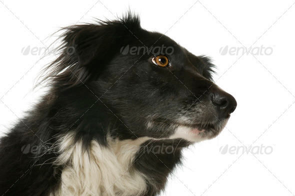 Border Collie (5 years, 6 months) - Stock Photo - Images