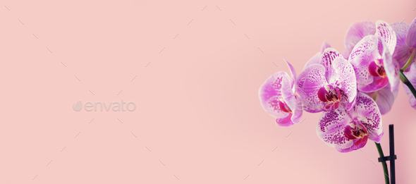 Purple orchid on pastel pink background. Banner with copy space. Spring, woman day concept - Stock Photo - Images