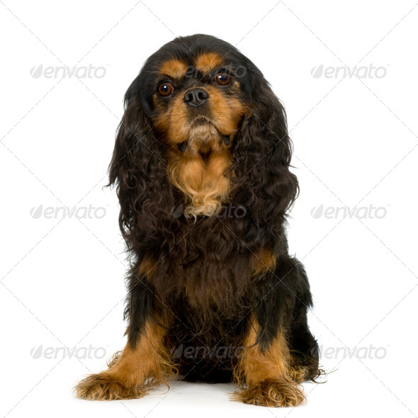 Cavalier King Charles Spaniel - Stock Photo - Images
