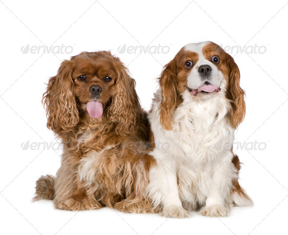 Cavalier King Charles Spaniel (8 years) - Stock Photo - Images