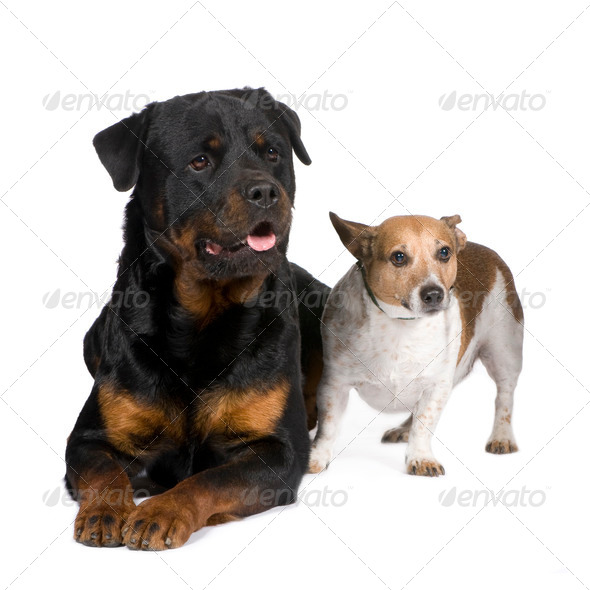 rottweiler (3 years) and a jack russel - Stock Photo - Images