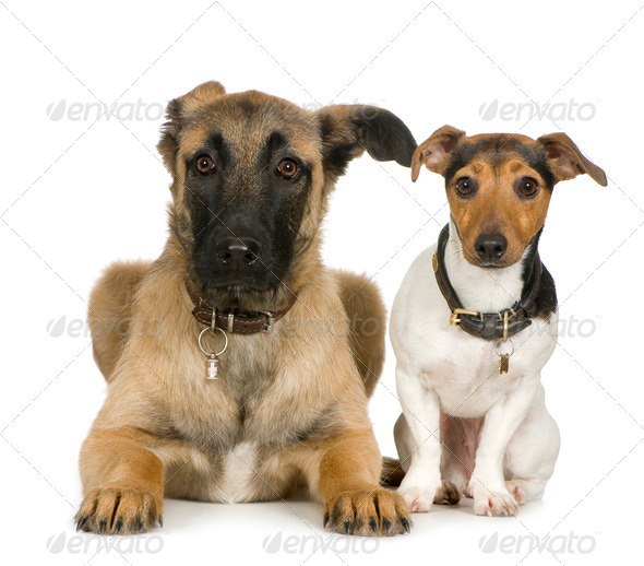 Jack russell and Crossbreed dog - Stock Photo - Images