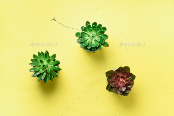 Pattern of green exotic succulents on yellow background. Flat lay. Top view. Pop art design - Stock Photo - Images