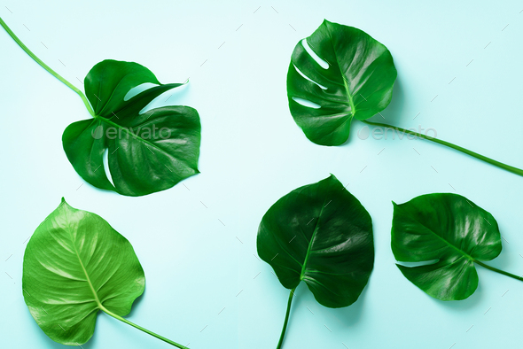 Pattern of tropical monstera leaves on blue background. Flat lay. Top view. Pop art design, creative - Stock Photo - Images