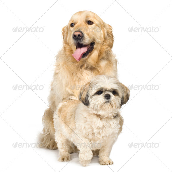 Golden Retriever and Shih Tzu - Stock Photo - Images