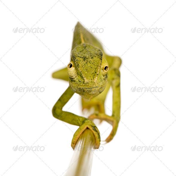 Chameleon Chamaeleo gracilis or dilepis - Stock Photo - Images