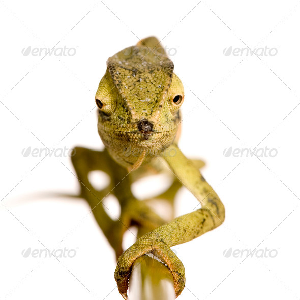 Chameleon Chamaeleo gracilis or dilepis - Stock Photo - Images