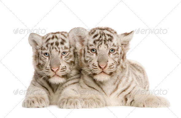 White Tiger cub (2 months) - Stock Photo - Images