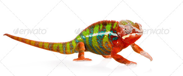 Chameleon Furcifer Pardalis - Ambilobe (18 months) - Stock Photo - Images