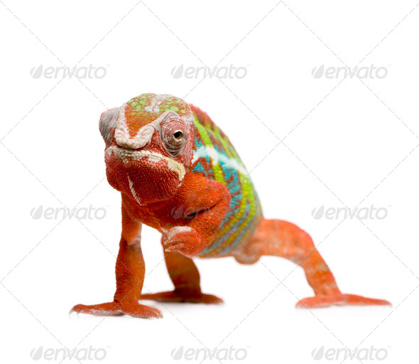 Chameleon Furcifer Pardalis - Ambilobe (18 months) - Stock Photo - Images
