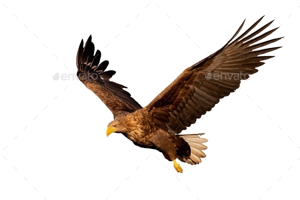 Adult white-tailed eagle flying isolated on white background at sunset - Stock Photo - Images