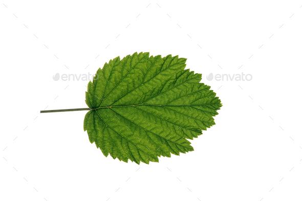Autumn Leaf On White Background - Stock Photo - Images