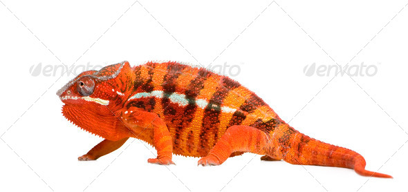 Chameleon Furcifer Pardalis - Sambava (2 years) - Stock Photo - Images
