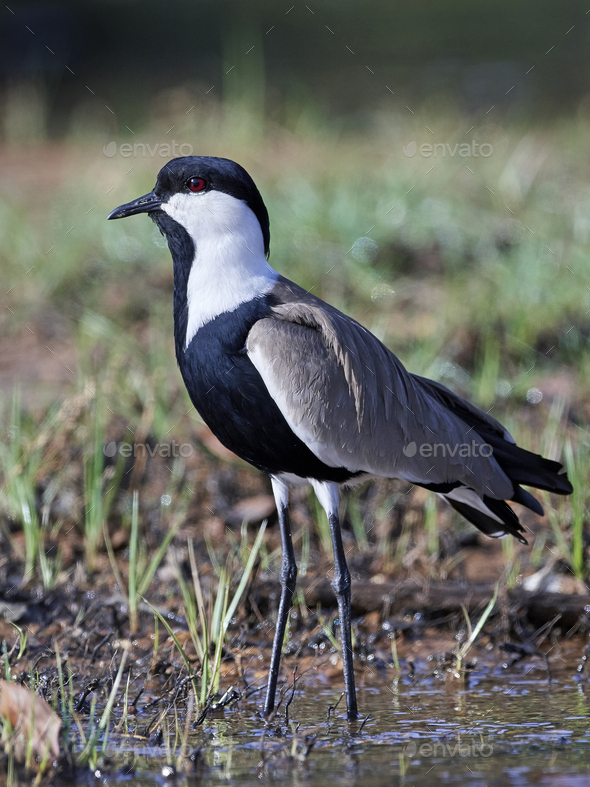 Spur-winged lapwing (Vanellus spinosus) - Stock Photo - Images