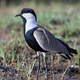 Spur-winged lapwing (Vanellus spinosus) - PhotoDune Item for Sale