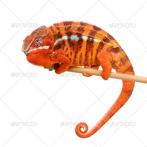 Chameleon Furcifer Pardalis - Sambava (2 years) - Stock Photo - Images
