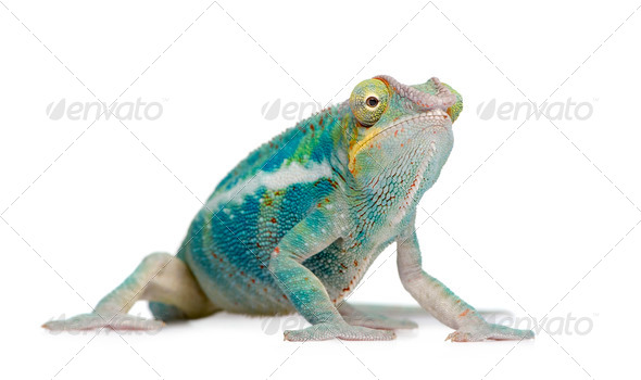 Young Chameleon Furcifer Pardalis - Ankify (8 months) - Stock Photo - Images