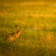 European hare on a meadow - PhotoDune Item for Sale