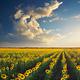 Field of sunflowers. - PhotoDune Item for Sale