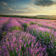 Lavender meadow - PhotoDune Item for Sale