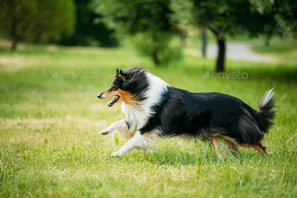 Shetland Sheepdog, Sheltie, Collie. Play Run Outdoor In Summer G - Stock Photo - Images