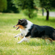 Shetland Sheepdog, Sheltie, Collie. Play Run Outdoor In Summer G - PhotoDune Item for Sale