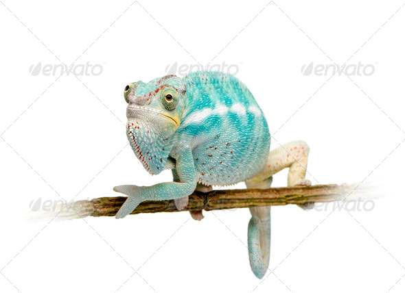 Young Chameleon Furcifer Pardalis - Nosy Be(7 months) - Stock Photo - Images