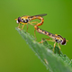 Hoverfly couple mating on a green leaf - PhotoDune Item for Sale