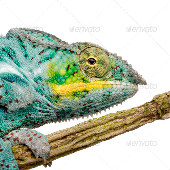 Chameleon Furcifer Pardalis - Nosy Faly (18 months) - Stock Photo - Images