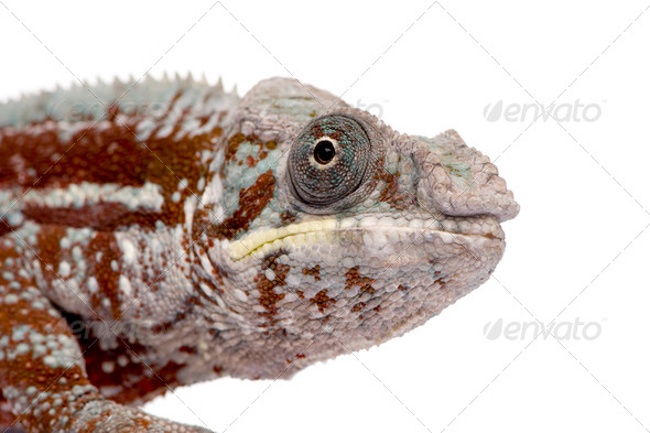 Chameleon Furcifer Pardalis - Masoala (4 years) - Stock Photo - Images