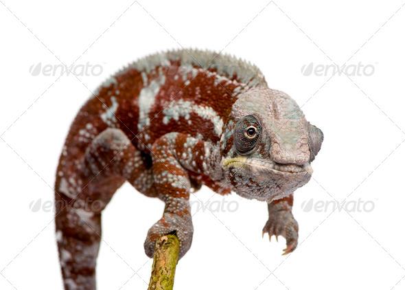 Chameleon Furcifer Pardalis - Masoala (4 years) - Stock Photo - Images